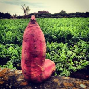 芋とニンジン畑。