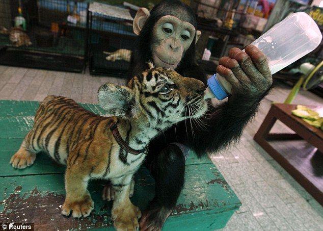 子トラにミルクを飲ませてあげるチンパンジー