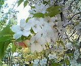 比叡山 桜