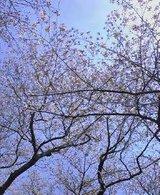 昭和記念公園桜