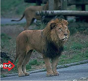 ライオンの踵