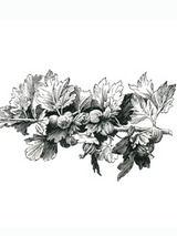 gooseberry.jpg