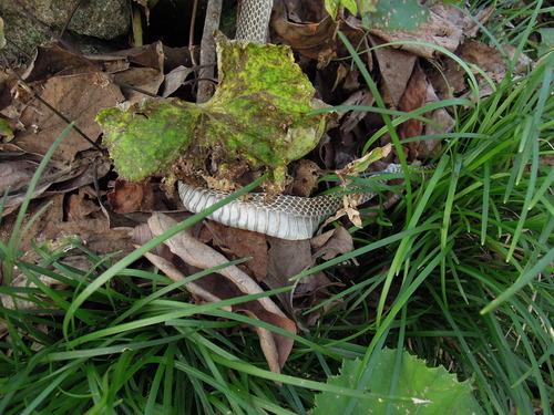 ヘビの抜け殻4