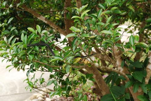 黒ヤマカガシ 木 2