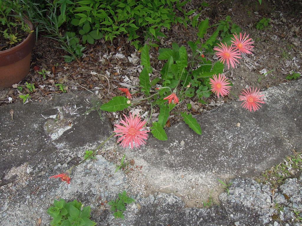 お庭で咲かせる宿根ガーベラ「ガルビネア」:栽培 …