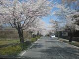 車窓より長瀞桜並木