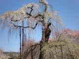 青雲寺しだれ桜樹齢600年