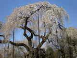 青雲寺しだれ桜樹齢250年