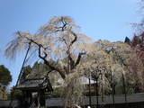青雲寺しだれ桜樹齢250年と本堂