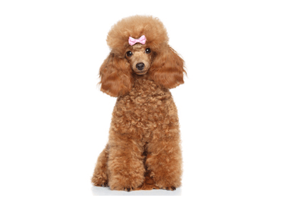 detailMain_medium-poodle