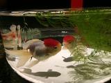 アクアリウム金魚up