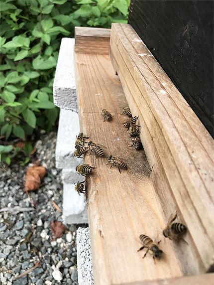 日本ミツバチ受け取り5