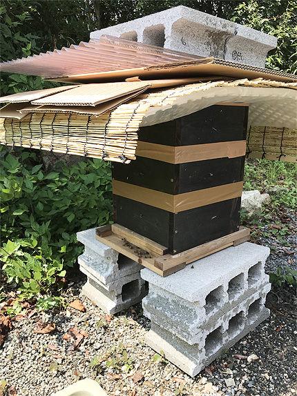日本ミツバチ受け取り9