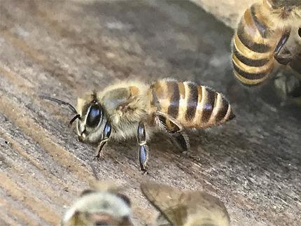 日本ミツバチ受け取り11