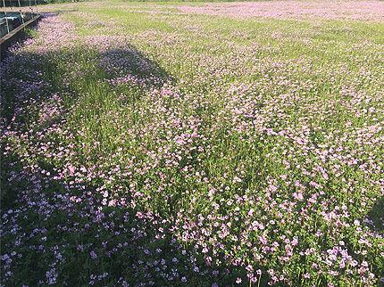 春の蓮華2