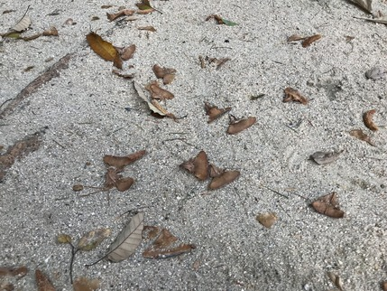ヒマラヤ杉の種②