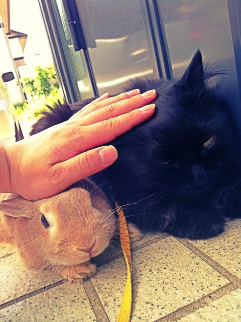 うさぎ ウサギ ネザーランドドワーフ 猫 同居