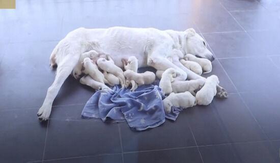子犬!子犬!子犬!その数、一瞬目を疑うほど!ジョージアンシェパードが合計17匹の子犬を出産!