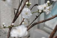 1972桃の花