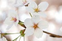 2053神戸市灘区・桜