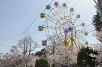 1072神戸市灘区王子動物園の桜
