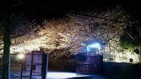 2085夜桜