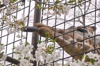 2106王子動物園のキリン