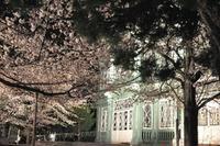 1599王子動物園、夜桜