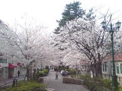 338宝塚市宝塚歌劇花の道・桜