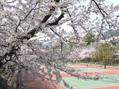 341神戸市灘区青谷町・王子テニスコート・桜