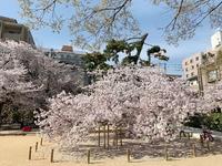 2433神戸市東灘区・桜
