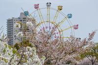 1067王子動物園、観覧車と桜
