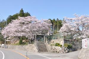 1607宝塚市の桜