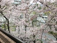 2103マンションからの桜