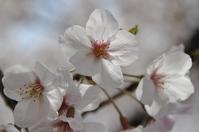1071神戸市灘区王子動物園の桜