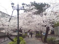 337宝塚市宝塚歌劇花の道・桜