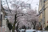 2108桜のトンネル
