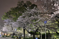 1980夜桜