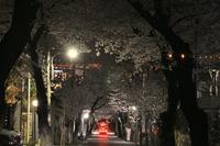 1976夜桜