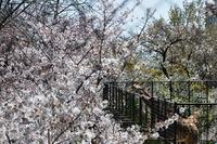 2054神戸市灘区・桜