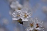 1388神戸市北区の桜