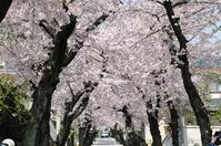 1047神戸市灘区摩耶ケーブル下、桜のトンネル