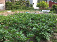 2191無農薬の藁(わら)