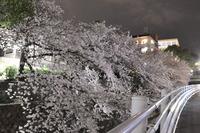 1978夜桜