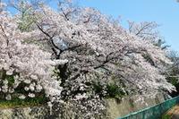 2055神戸市灘区・桜