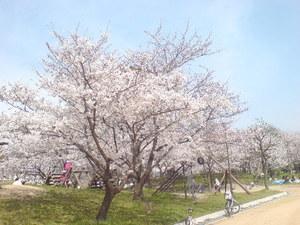 334尼崎市田能西公園・桜