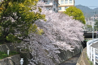 1057神戸市灘区杣谷川の桜