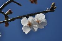 1377宝塚市の桜