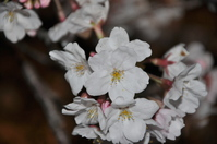 "1042神戸市立王子動物園""夜桜通り抜け"""