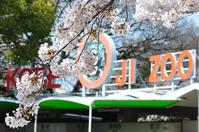 1068神戸市灘区王子動物園の桜